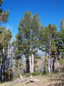 Whitebark Pine Tree