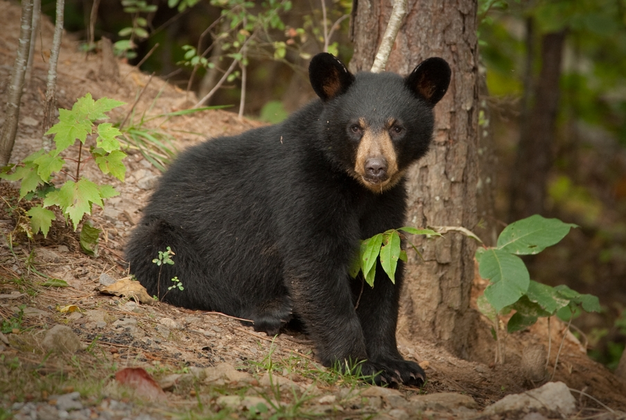 American Black Bear | Coniferous Forest - photo#4