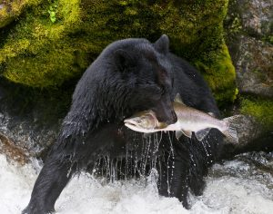 American Black Bear Catching a Salmon