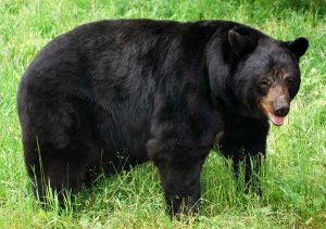 American Black Bear Images