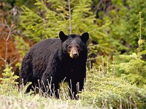 American Black Bear Pictures