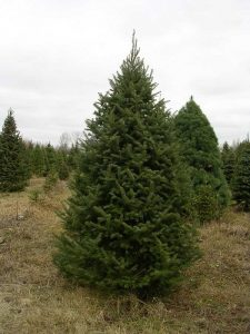 Balsam Fir Pictures