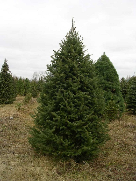 Canadian Christmas Trees