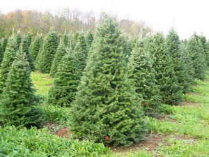 Balsam Fir Trees