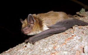 Big Brown Bat Images