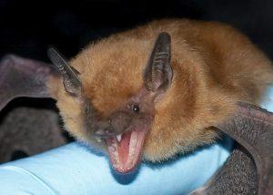Big Brown Bat Pictures