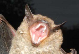 Big Brown Bat Teeth