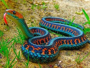 California Red Sided Garter Snake