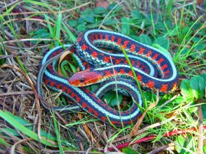 California Red Sided Garter Snake Images