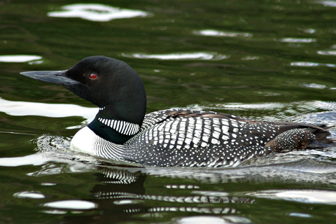 Common Loon Coniferous Forest