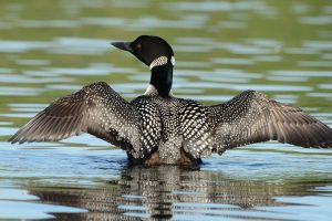 Common Loon Images