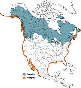 Common Loon Range