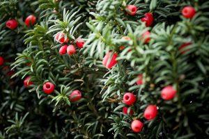 Japanese Yew Berries