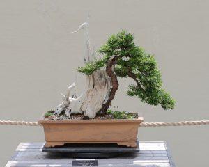 Japanese Yew Bonsai