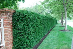 Japanese Yew Hedge