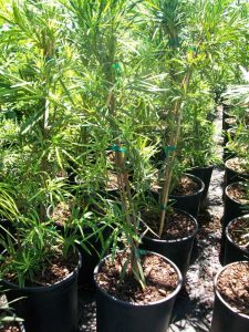 Japanese Yew Plant