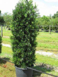 Japanese Yew Tree