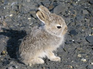 Mountain Hare Baby