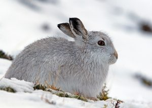 Mountain Hare Images