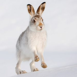 Mountain Hare Photos
