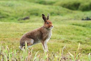 Mountain Hare Pictures