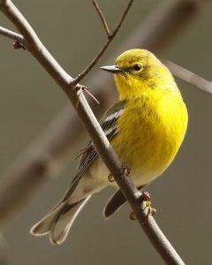 Pine Warbler Bird