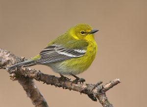 Pine Warbler Images
