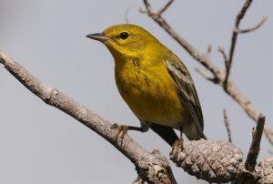 Pine Warbler Photos