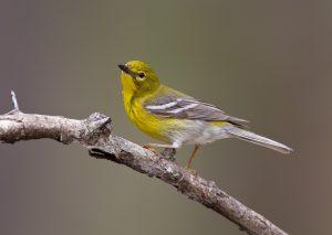 Pine Warbler Pictures