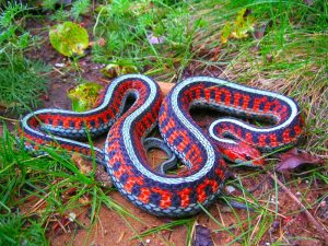 Red Sided Garter Snake