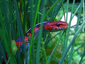 Red Sided Garter Snake Head