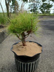 Shortleaf Pine Bonsai