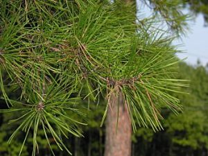 Shortleaf Pine Leaf