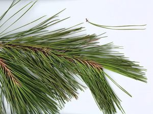 Shortleaf Pine Needles