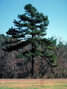 Shortleaf Pine Pictures
