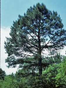 Shortleaf Pine Tree