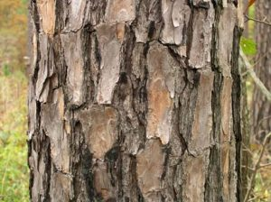Virginia Pine Bark