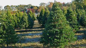 Virginia Pine Trees