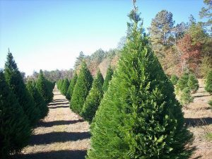 Virginia Pines