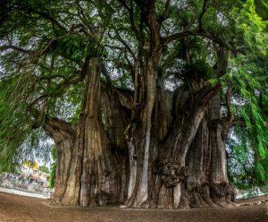 Ahuehuete Tree