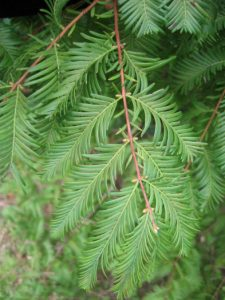 Bald Cypress Leaf