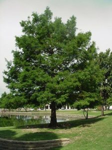 Bald Cypress Pictures