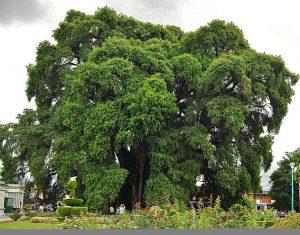 Mexico National Tree