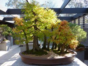 Montezuma Cypress Bonsai