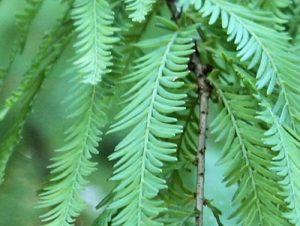 Montezuma Cypress Leaves