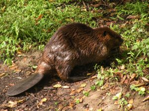 Mountain Beaver Tail