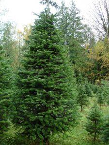 Nordmann Fir Christmas Trees