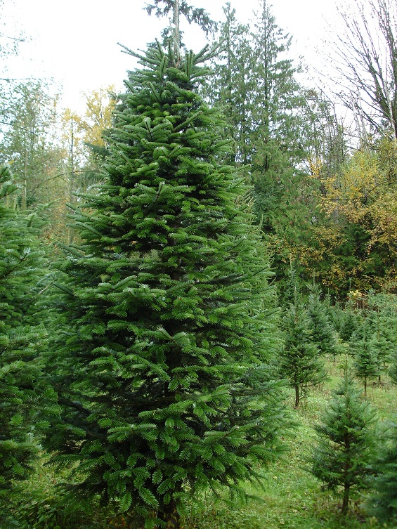 Nordmann Fir | Coniferous Forest