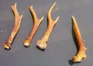 Roe Deer Antlers