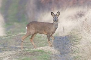 Roe Deer Female
